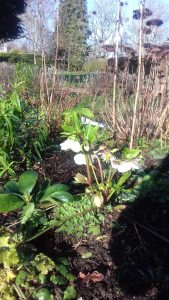 White hellebores in one of the bottom beds